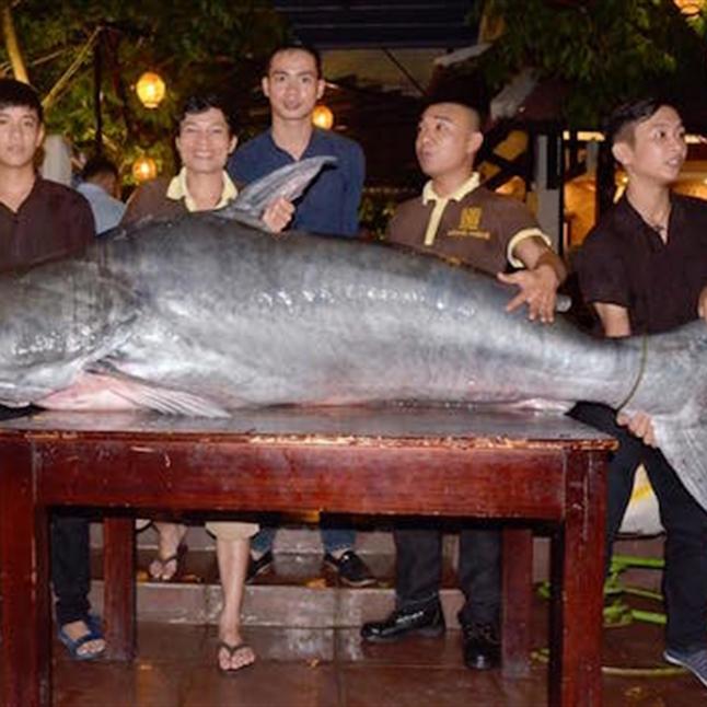 """Con cá tra """"khủng"""" này nặng hơn 200kg."""
